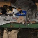 En la ciudadela Las Acacias un grupo de gatos es alimentado por voluntarios. La rescatista Carmen Lara dice que necesitan un albergue.